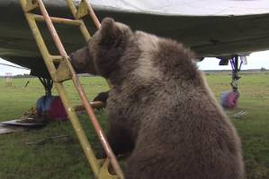 An un-bear-ably cute cub has flown in face of convention and now calls an airfield his home.