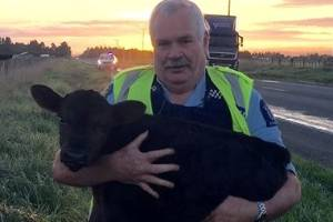 Senior Constable Pete rescues a calf near Featherston