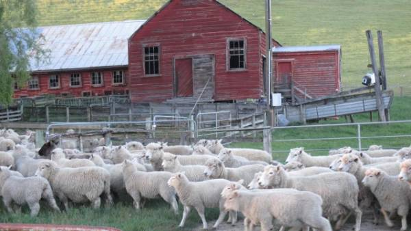 Hawke's Bay is predominantly sheep country - the farm comes with a five-stand woolshed, three sets of sheep yards, ...