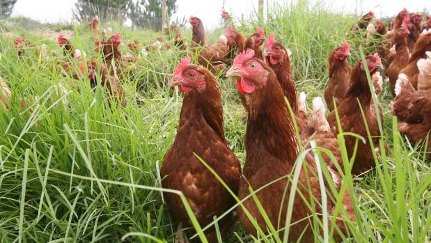 New Zealand free-range hens have more space than the Australian variety.