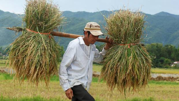 Rice is one of Vietnam's main exports.