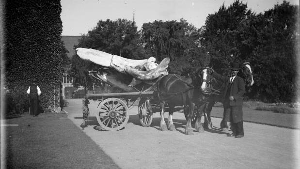 The whale bones arrive at the Canterbury Museum on a horse and cart in 1908.