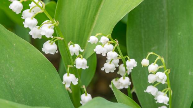 Lily of the valley has dainty flowers and a fine fragrance.