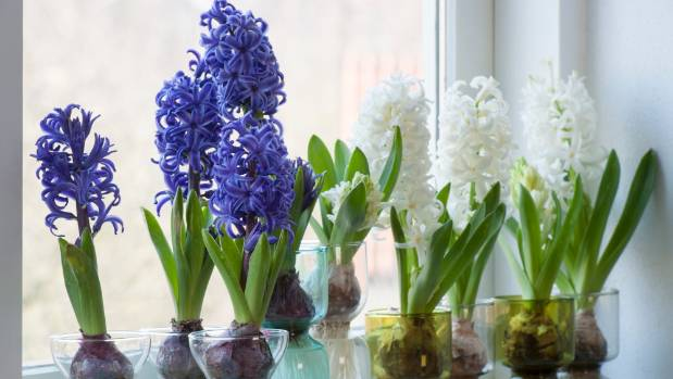 Hyacinths are often available as potted plants.