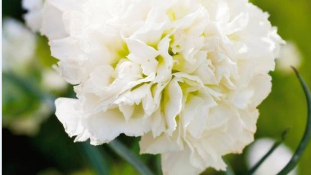 The clove-scented Dianthus 'Mrs Sinkins'.