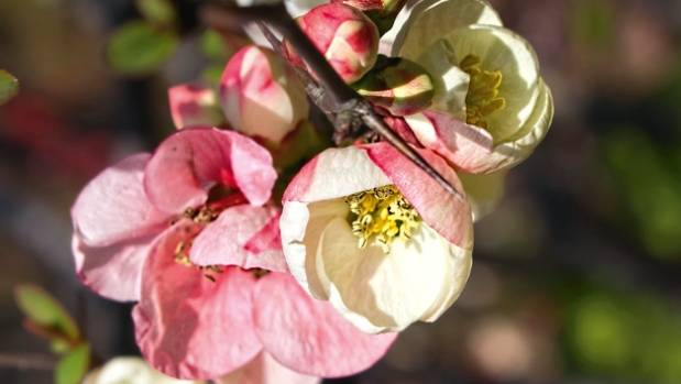 The ornamental quince (Chaenomeles japonica) is a favourite with birds and bees alike.
