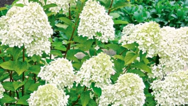 Hydrangea paniculata 'Limelight' has an unusual greenish tinge to its blooms.